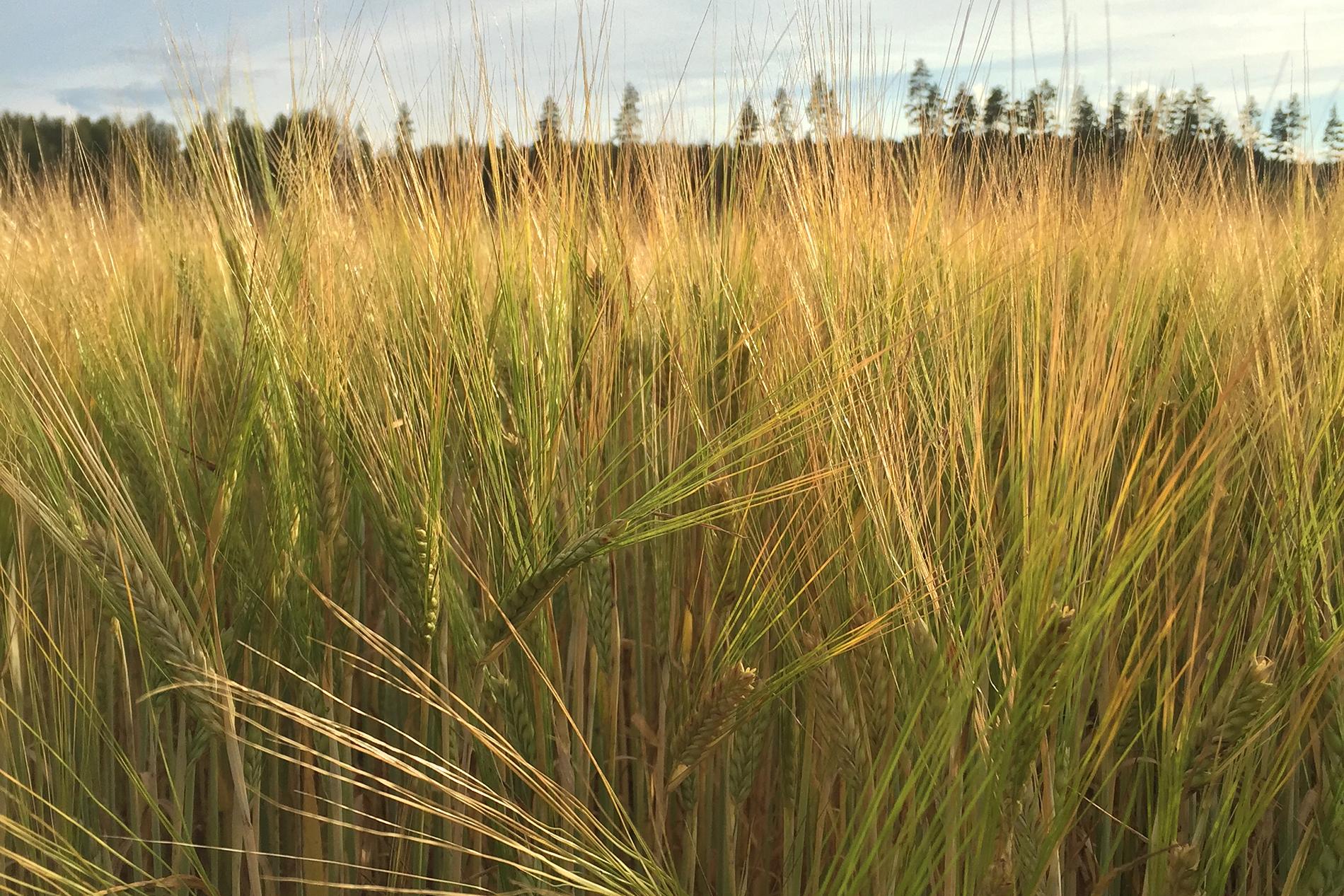 Carbons Plus Luomu on nyt luomulannoiteluettelossa